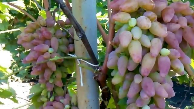 Виноград Оригинал описание сорта, фото, отзывы видео