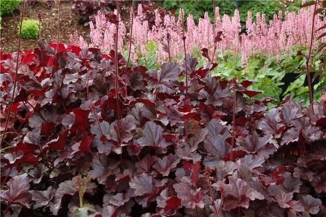 Теневыносливые цветы для сада многолетние