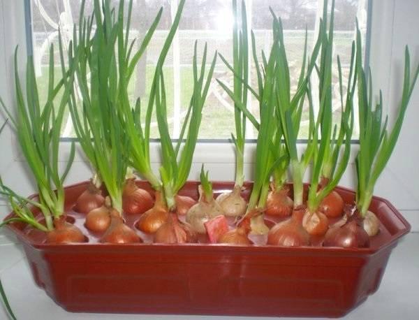 Лук в домашних условиях выращивать