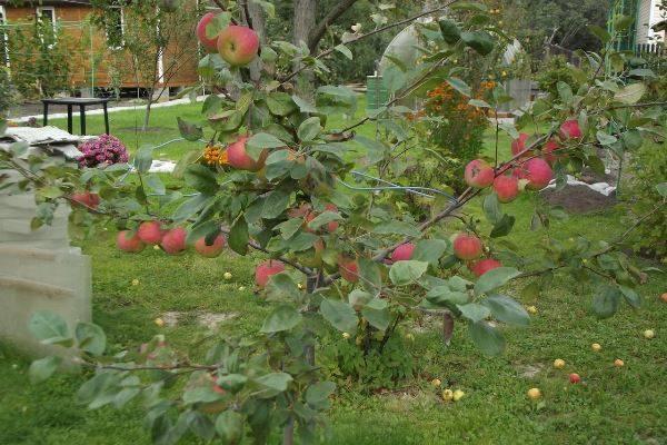 Яблоня конфетка описание сорта фото отзывы