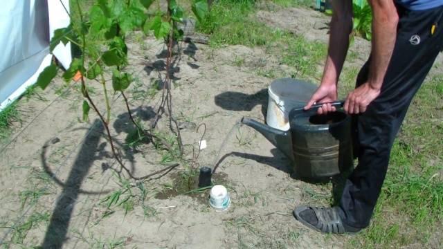 Виноград Белое чудо описание сорта, фото, отзывы