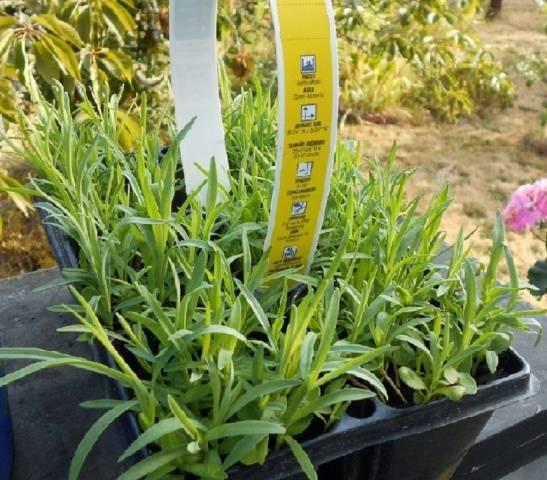 Гвоздика Шабо выращивание из семян, когда сажать на рассаду