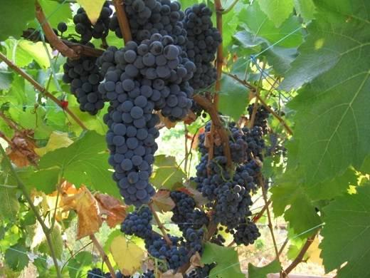 Виноград Каберне Совиньон описание сорта, фото, отзывы