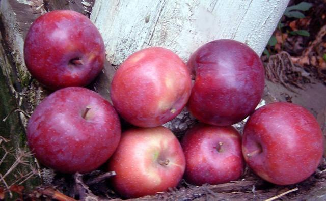 описание фото яблоня лобо