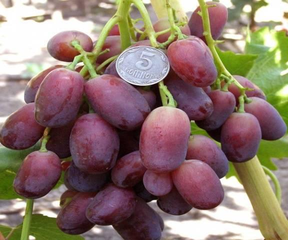Виноград Ягуар описание сорта, фото, отзывы
