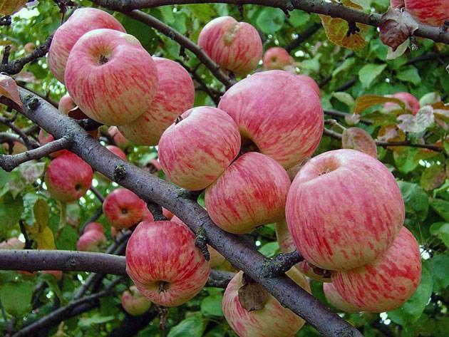 ред мельба яблоня описание фото отзывы