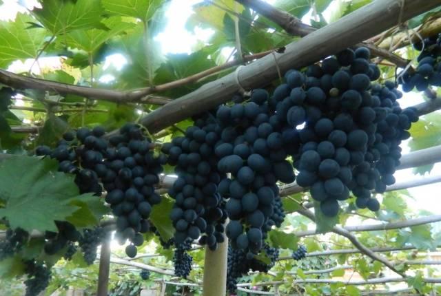 Виноград Кардинал описание сорта, фото, отзывы