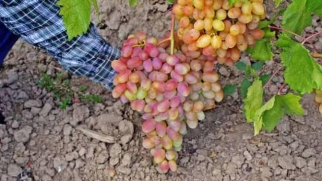 Виноград Юлиан описание сорта, фото, отзывы
