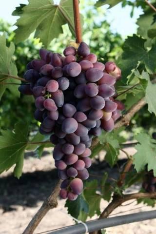 Виноград Красотка описание сорта, фото, отзывы
