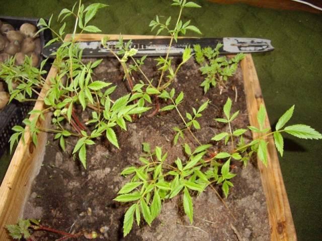 Выращивание Астильбы из семян в домашних условиях