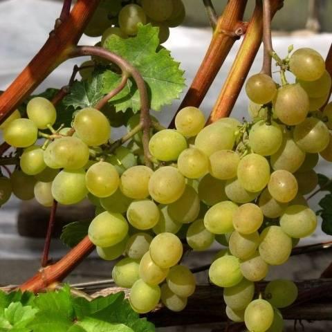 Виноград Кристалл описание сорта, фото, отзывы