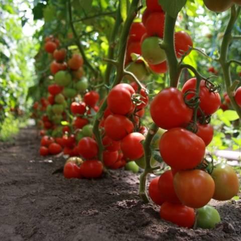 Характеристика и описание сорта томата Марьина роща его урожайность