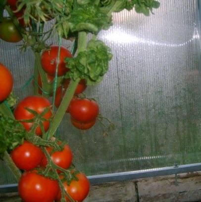 томат палка характеристика и описание