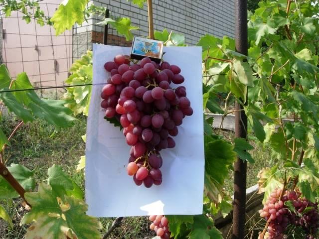 Виноград кишмиш Лучистый описание сорта, фото, отзывы