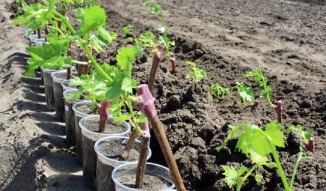 Какой виноград лучше всего сажать подмосковье для еды 96
