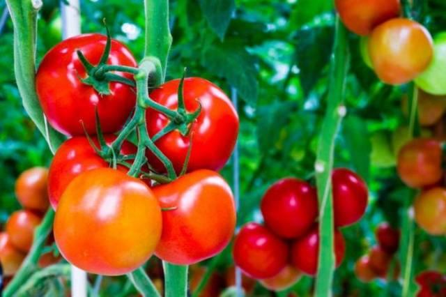 томат агата фото отзывы