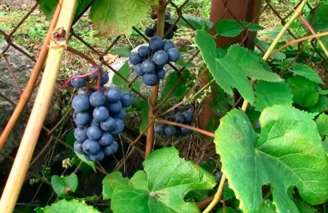 Виноград Зилга описание сорта, фото, отзывы
