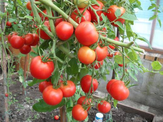 томат верлиока характеристика и описание