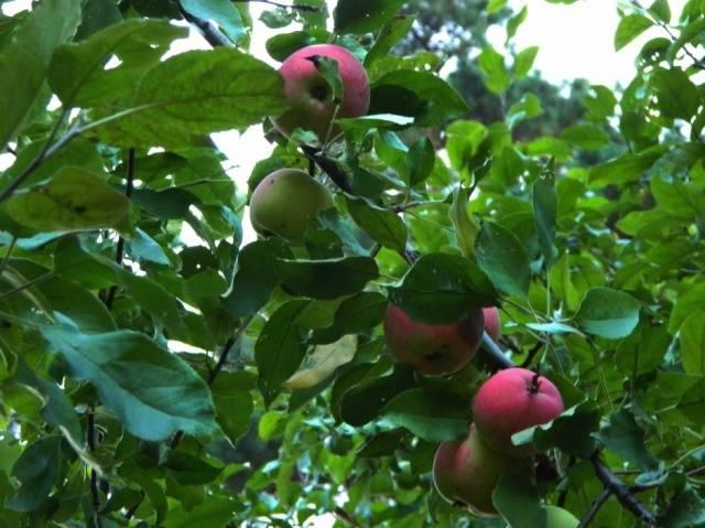 яблоня мантет фото описание