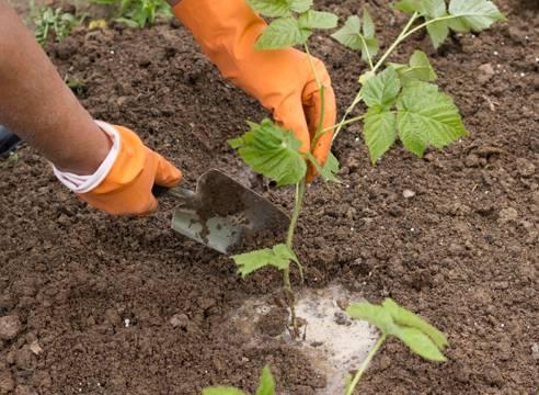 Как выращивать и ухаживать за ремонтантной малиной?