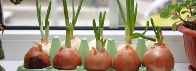 Как выращивать лук в домашних условиях в воде?
