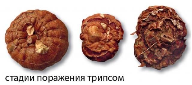 Болезни гладиолусов