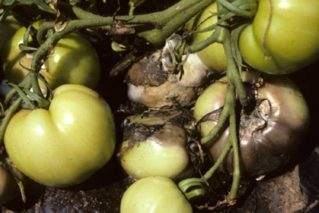 Болезни томатов в теплице из поликарбоната