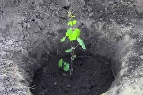 Виноград Граф Монте-Кристо описание сорта, фото, отзывы