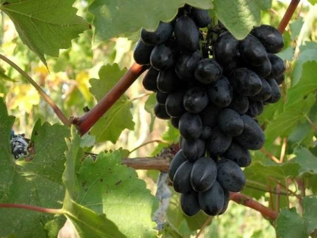 Виноград Ромбик описание сорта, фото, отзывы