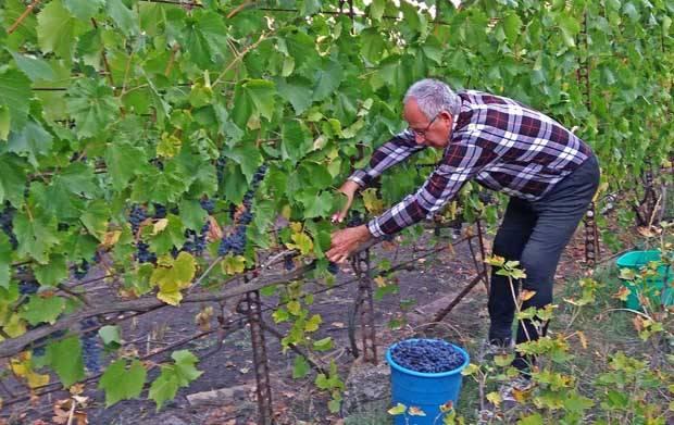 Виноград Фуршетный описание сорта, фото, отзывы
