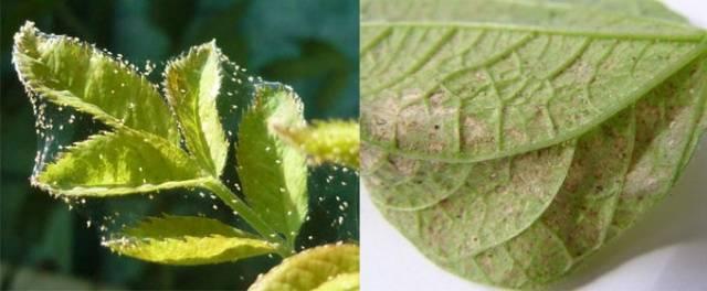 Болезни и вредители клематисов