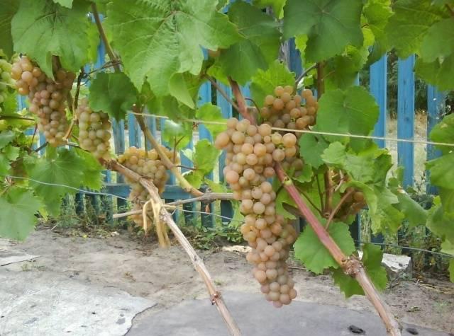 Виноград Платовский описание сорта, фото, отзывы