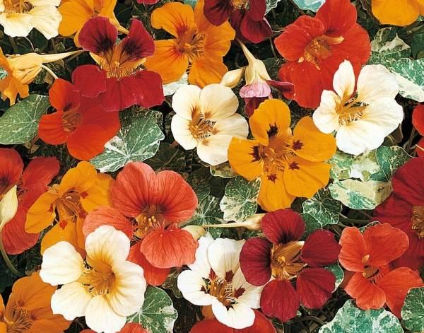 Выращивание настурции из семян в домашних условиях когда сажать