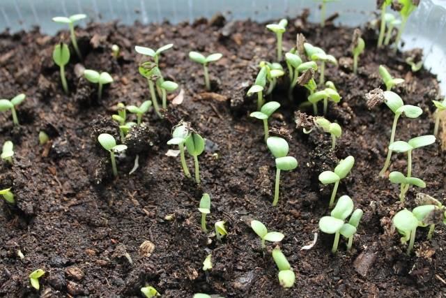 Выращивание рассады из семян 180