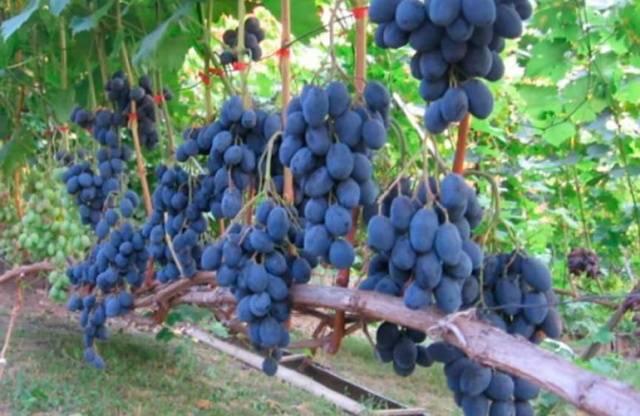 Виноград Руслан описание сорта, фото, отзывы