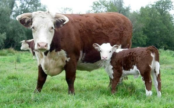 Герефордская порода коров: характеристика, отзывы