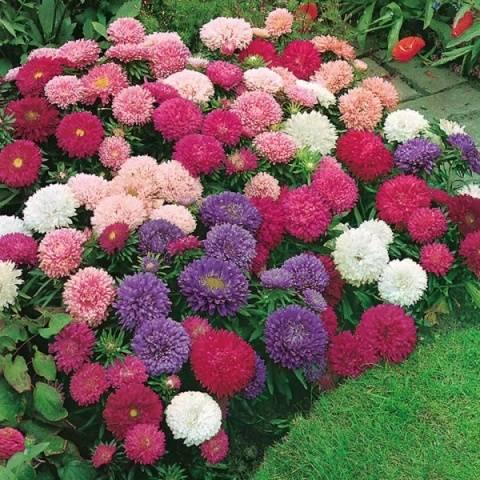 Астры фото цветов, виды