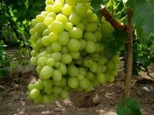 Виноград Ланселот описание сорта, фото, отзывы