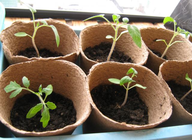 Как поливать рассаду помидор: как часто и чем