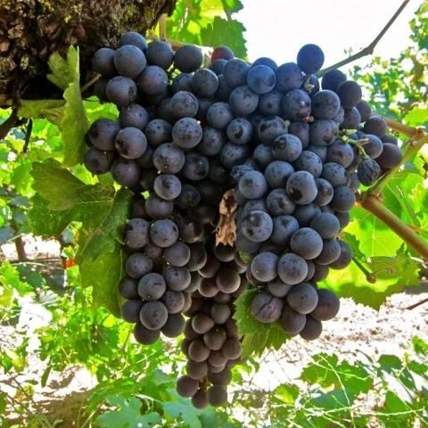 Виноград Сфинкс описание сорта, фото, отзывы