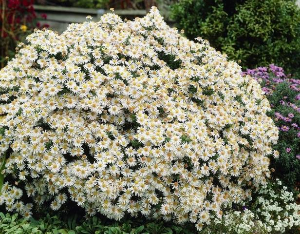Астра кустовая многолетняя сорта, фото, описание