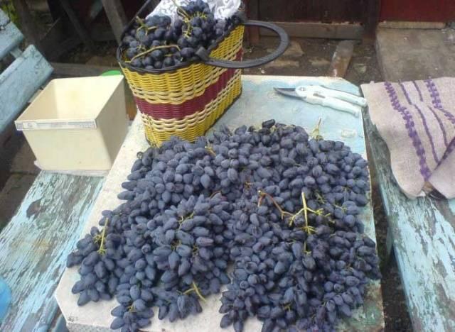 Виноград Памяти Негруля описание сорта, фото, отзывы