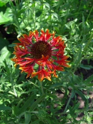 Гайлардия выращивание из семян, когда сажать на рассаду