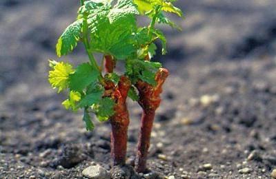 Виноград Валек описание сорта, фото, отзывы