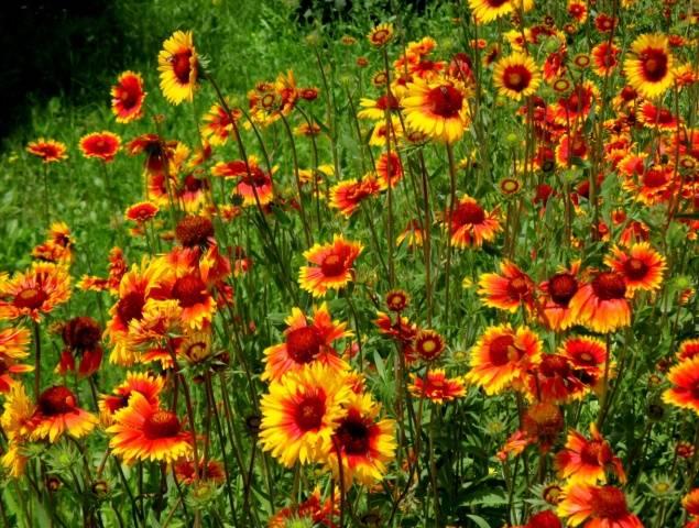 гайлардия выращивание из семян фото