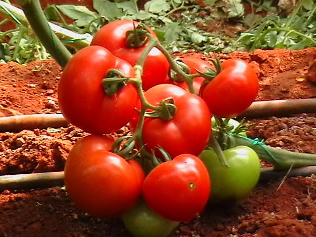 Ранние сорта помидор для открытого грунта