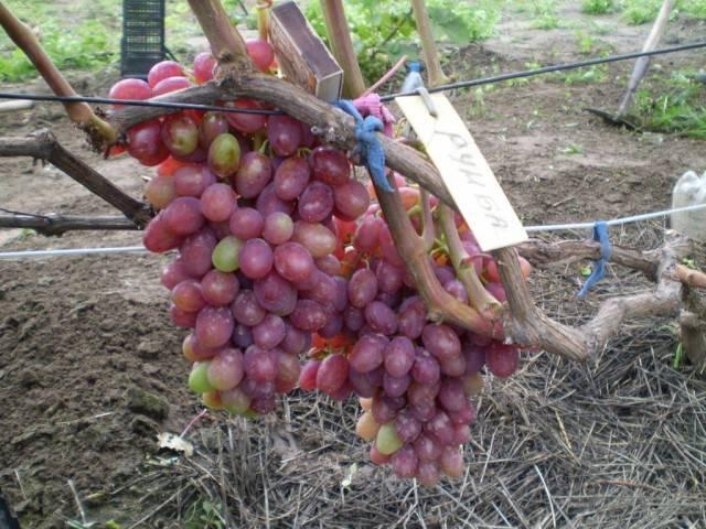 Виноград Румба описание сорта, фото, отзывы