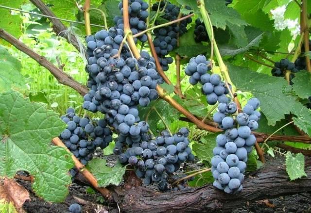 Виноград Маркетт описание сорта, фото, отзывы