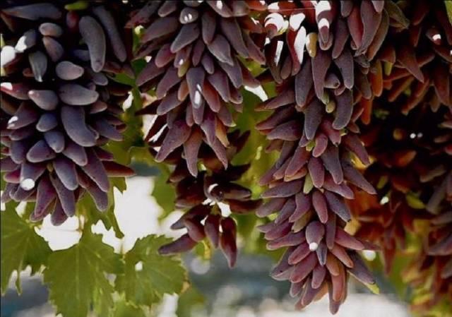 Виноград Ведьмины пальцы описание сорта, фото, отзывы