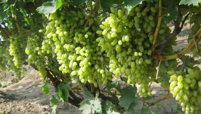 Виноград Столетие описание сорта, фото, отзывы